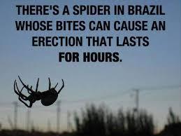 mengobati disfungsi ereksi dengan racun laba laba brasil