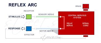Motor Reflex Arc Testing Reflexes Redefining Spinal Shock