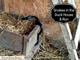 How To Avoid Snakes In Backyard Snake In The Duck House 9 Tips To Help Repel Snakes Fresh Eggs