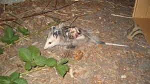 randal 1 opossums 0 blog by nerdrew ign