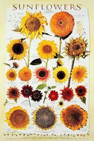 sunflowers hortupdate june 2011 aggie horticulture
