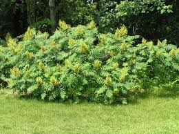 native utah plants smooth sumac smooth sumac landscape pinterest tree