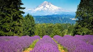 Oregon mountains images Mt hood oregon flowers lavender mountains jpg