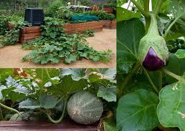 wikiorg egg plant ing and pinterest plants egg vegetable garden