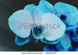 Blue Orchid Flower - beautiful blue orchid flowers on black stock photo 360350807