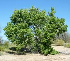 Cottonwood Tree Flowers - populus fremontii az riparian jpg