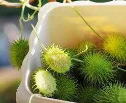 seeds cucumber decorative ornamental fruit ebay