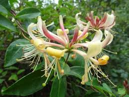 lonicera periclymenum common honeysuckle world of flowering plants