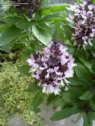 plantfiles pictures thai basil ornamental basil lemon basil