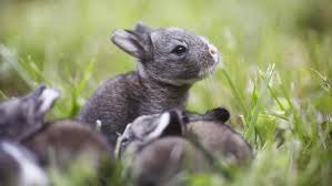 rabbits rabbits everywhere a denver epidemic our community