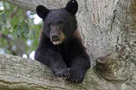 scared bear spends week roaming louisiana neighborhood new york post