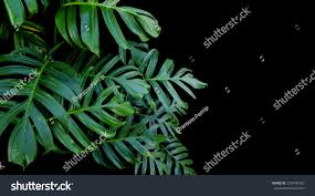 green leaves monstera plant growing wild stock photo 570478192