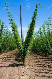 field of hop plants growing on trellis stock photo picture and