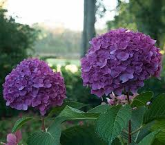 purple hydrangea hydrangea macrophylla let s white flower farm