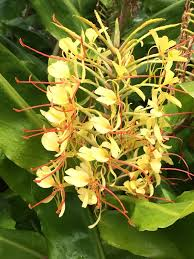 Fragrant Tropical Plants - kahili ginger hedychium gardenereanum this lovely tropical