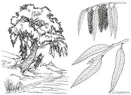 coloring trees coloring pages willow river willow twigs willow