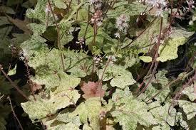Flowers For Morning Sun - monterey bay nursery plants t