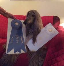 8 month old afghan hound jolie afghan hounds news