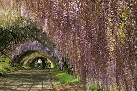 el zorro seeing chinese wisteria tunnels in japan 在日本看中國