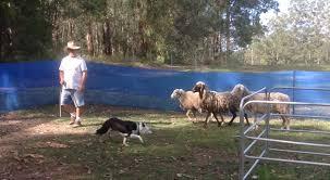 belgian shepherd kempsey sheep herding for city dogs training your dog to herd sheep