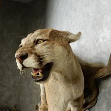 lion heads for sale mountain lion mount for sale 14581 the taxidermy store
