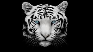 3k white tiger with blue nature animals birds