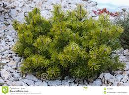 miniature ornamental pine tree stock photo image 48328631