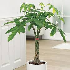 best low light indoor trees money tree care instructions will need this now that i own one