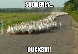 Duck Meme - animal memes suddenly ducks animalmemes com animocalypse