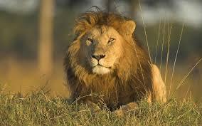 male lion wallpapers danger lion wallpaper download hd wallpaper