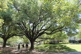 arbor day foundation recognizes uh s commitment to cus trees