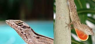 lizards2 jpg