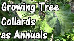how to grow tree collards as annuals in cool climates how to