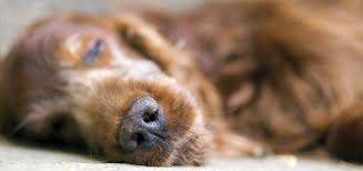 dog euthanasia the surprising about why dog euthanasia increases during the