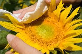 iowa native plants with genetic advances new promise for sunflowers u0027 profitable