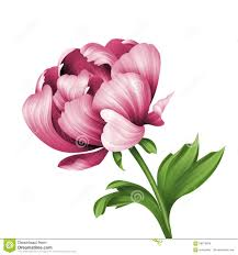 Peony Flower Pink Peony Flower And Green Curly Leaves Illustration Isolated