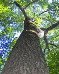 trees the carbon storage experts nys dept of environmental