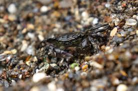 glass beach file striped shore crab glass beach fort bragg jpg wikimedia