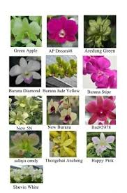 orchid plants for sale orchid plants for sale adahari