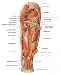 legmuscle anatomy upper leg muscle diagram leg muscles diagram