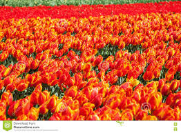 tulip fields in lisse netherlands stock photo image 71291353
