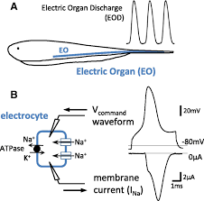Action Potential Energetics At The Organismal Level Reveal A Trade