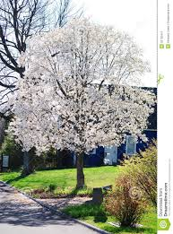 a flowering white tree in the in a small in rural