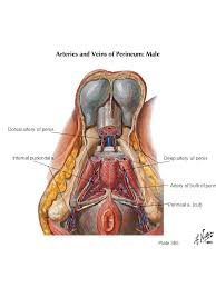 Male Anatomy Perineum Male And Female Urogenital Triangle Ppt Video Online Download