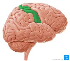 Cortical Blindness May Result From The Destruction Of Brain Lobes Anatomy Landmarks U0026 Functions Kenhub