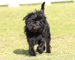 affenpinscher white affenpinscher dog breed information u0026 images k9 research lab