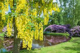 landscaping with golden chain trees