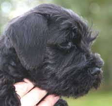 affenpinscher jakt gregorius on the move dogs for show