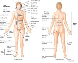Human Anatomy Of The Abdomen What Is The Human Anatomy Images Learn Human Anatomy Image