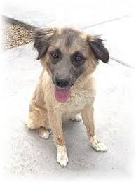 australian shepherd rescue las vegas ewalani adopted dog 153936 north las vegas nv australian